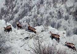 Chamois-poster